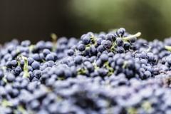 grapes14